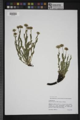 Image of Erigeron nauseosus