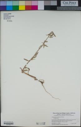 Camissoniopsis hardhamiae image