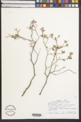 Image of Euphorbia tomentella