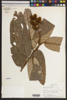 Image of Virola loretensis
