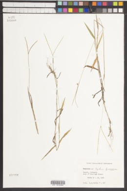 Image of Digitaria fuscescens