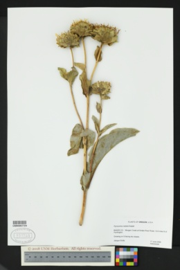 Pyrrocoma radiata image