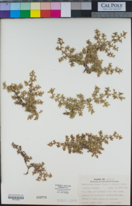 Guilleminea densa var. densa image