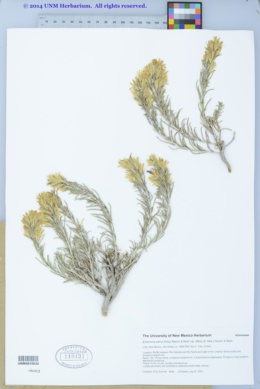 Ericameria parryi var. affinis image