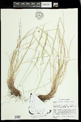 Image of Festuca roemeri