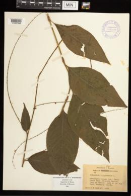 Polygonum virginianum image