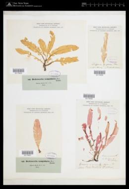 Delesseria sanguinea image
