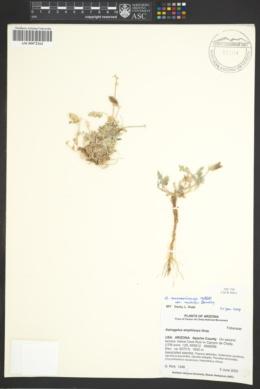 Astragalus missouriensis var. mimetes image