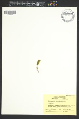 Image of Hymenophyllum flabellatum