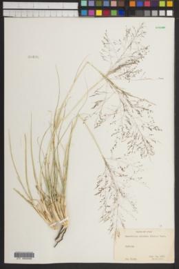 Sporobolus airoides image