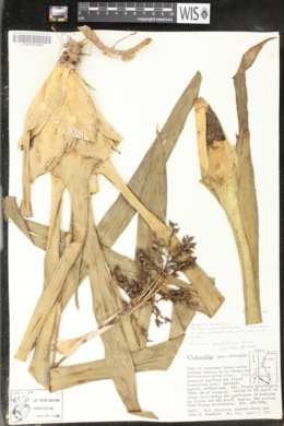 Image of Aechmea penduliflora