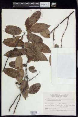 Image of Prunus tucumanensis
