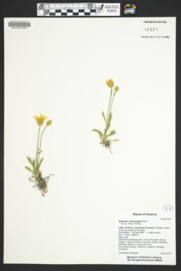 Stenotus armerioides image