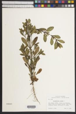 Image of Scrophularia canina