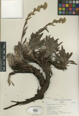 Image of Oreocarya crymophila