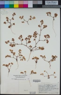 Chorizanthe diffusa image