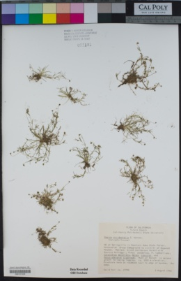 Sagina decumbens subsp. occidentalis image