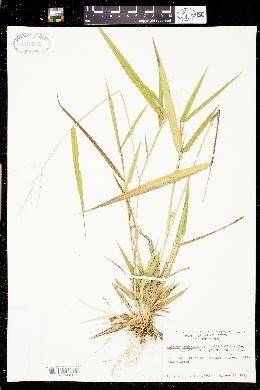Panicum bicknellii image