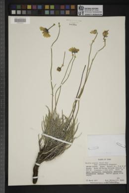 Encelia scaposa image