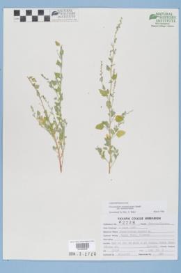 Chenopodium neomexicanum image