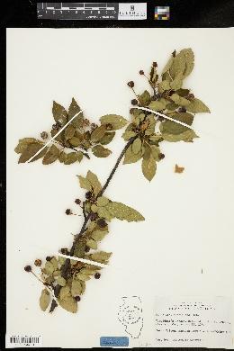 Image of Malus floribunda