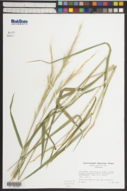 Image of Elymus gracilis
