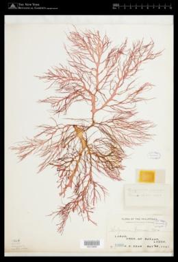 Halymenia formosa image