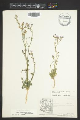 Gilia flavocincta subsp. flavocincta image