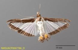 Diaphania hyalinata image
