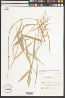 Panicum polygonatum image
