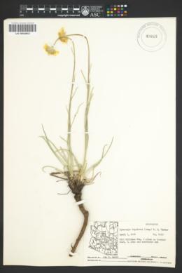 Hymenoxys bigelovii image