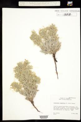 Cryptantha longiflora image
