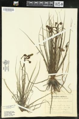Drosophyllum lusitanicum image