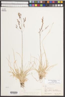 Deschampsia cespitosa subsp. cespitosa image