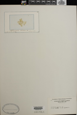 Tetraspora lubrica image