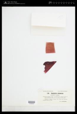 Rhodonematella subimmersa image