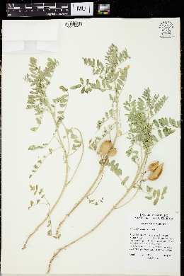 Image of Astragalus vallaris