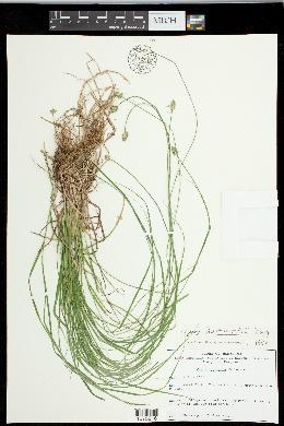 Carex leavenworthii image