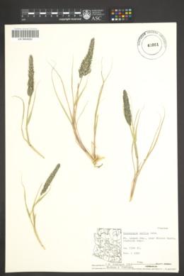 Enneapogon cenchroides image