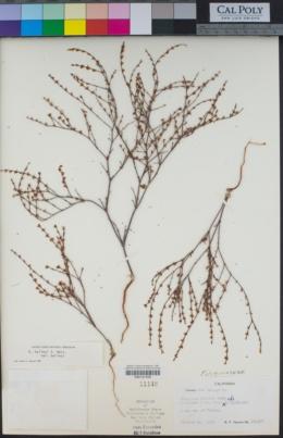 Eriogonum baileyi image