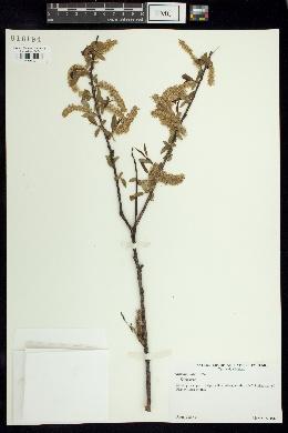 Image of Salix amphibia