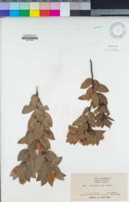 Image of Arctostaphylos virgata