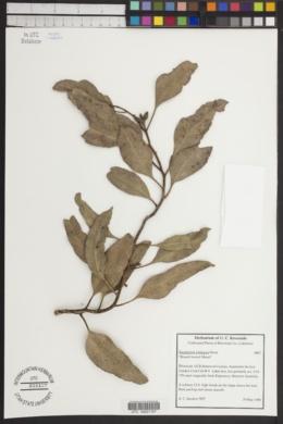 Image of Eucalyptus platypus