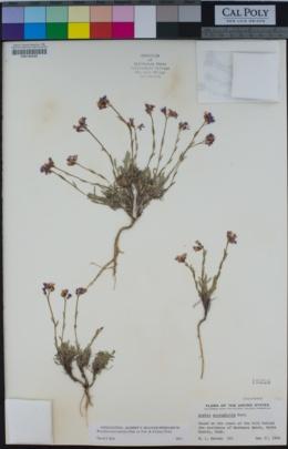 Boechera microphylla image