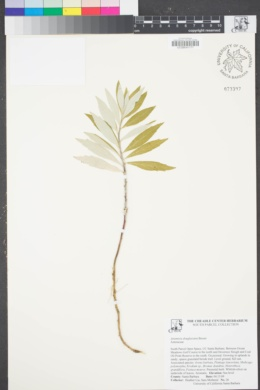 Image of Artemisia douglasiana