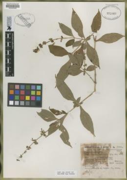 Image of Salvia tricuspis