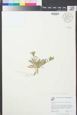 Image of Camissoniopsis micrantha