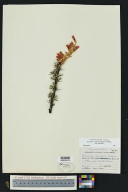 Fouquieria splendens subsp. splendens image