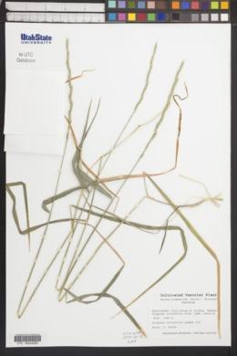 Image of Elymus hispanicus