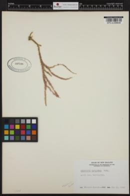 Pneophyllum coronatum image
